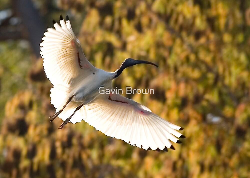 Ibis in flight by Gavin Brown