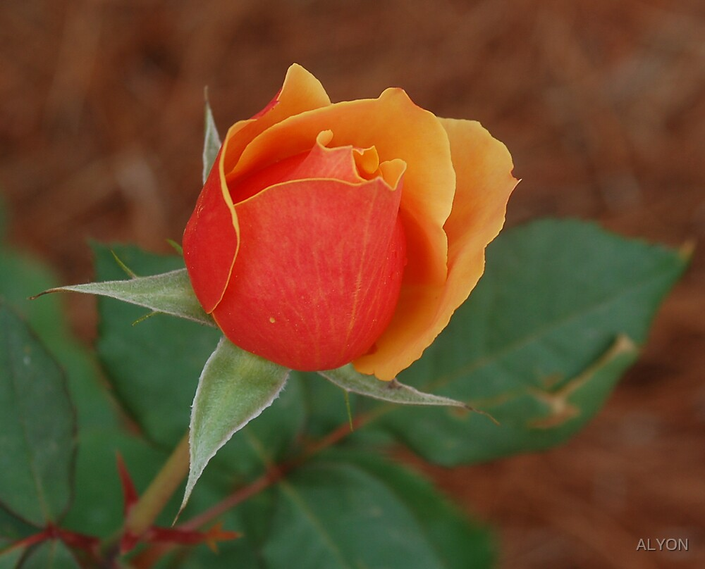 PERFECT ROSE by ALYON
