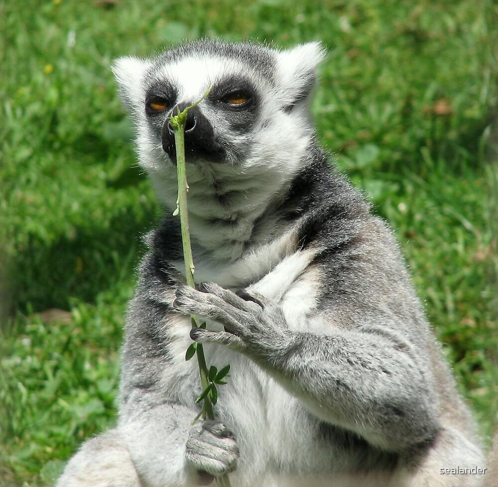 Lemur by sealander
