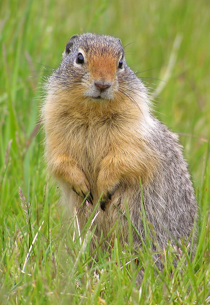 Wary gopher by Martin Pot