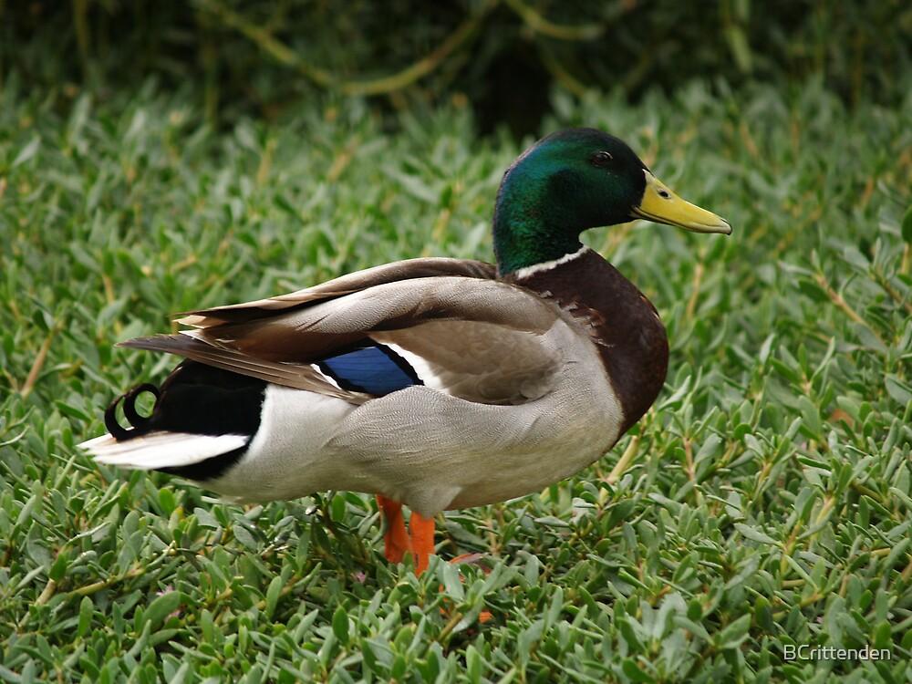 Mallard Duck by BCrittenden
