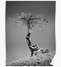 Contorted Pine Poster