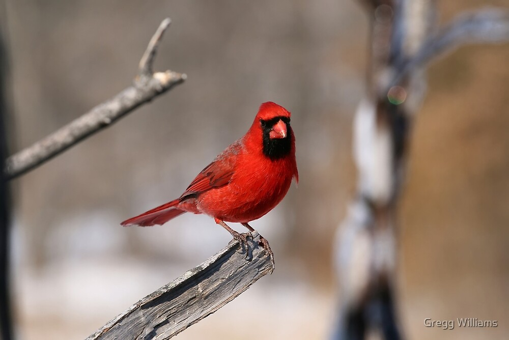 A Cardinal Portrait by Gregg Williams