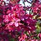 REDBUD TREES (cercis canadensis trees ONLY!)