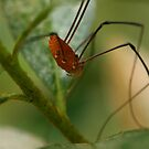 Daddy Long Legs by Heather Meadows
