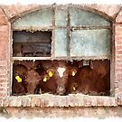 Cows facing the barn window by Giuseppe Cocco