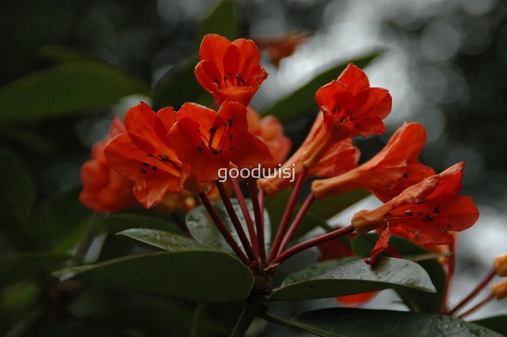 Orange Azalea Blooms by goodwisj