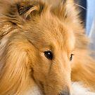 shetland sheepdog by alanw89