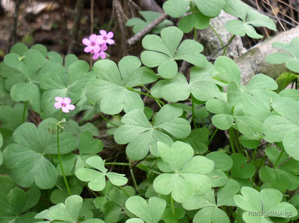 Shamrocks by rootswithwings