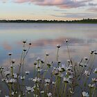 Daisies on a summer evening at Winterset by Anna Myerscough