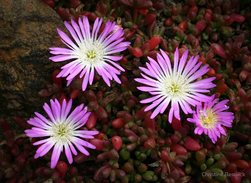 Native Pigface by Christine Beswick