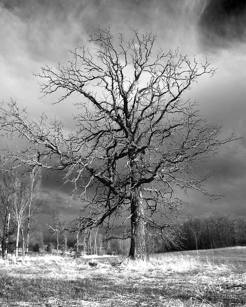 withered tree by slater