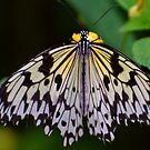 Marbled White Butterfly by JohnYoung