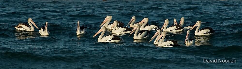 Pelicans by David Noonan