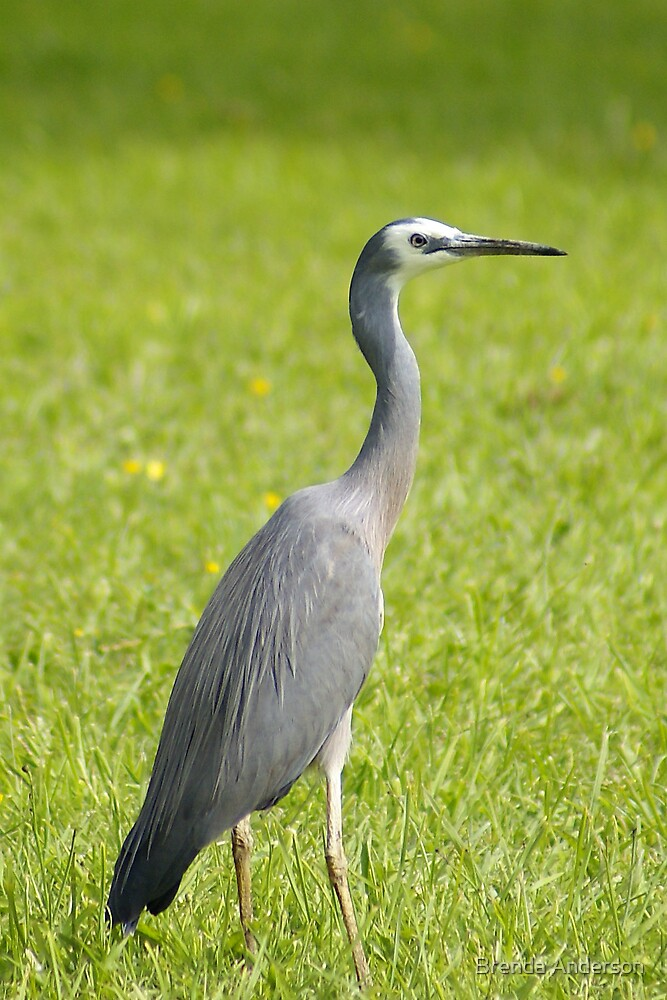 Heron on my lawn by Brenda Anderson