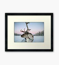 Lapland Reindeer Framed Print