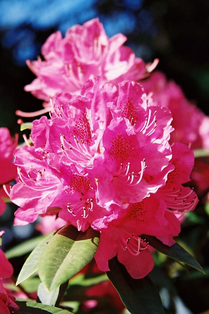 Camellia Hot Pink by bethgardner