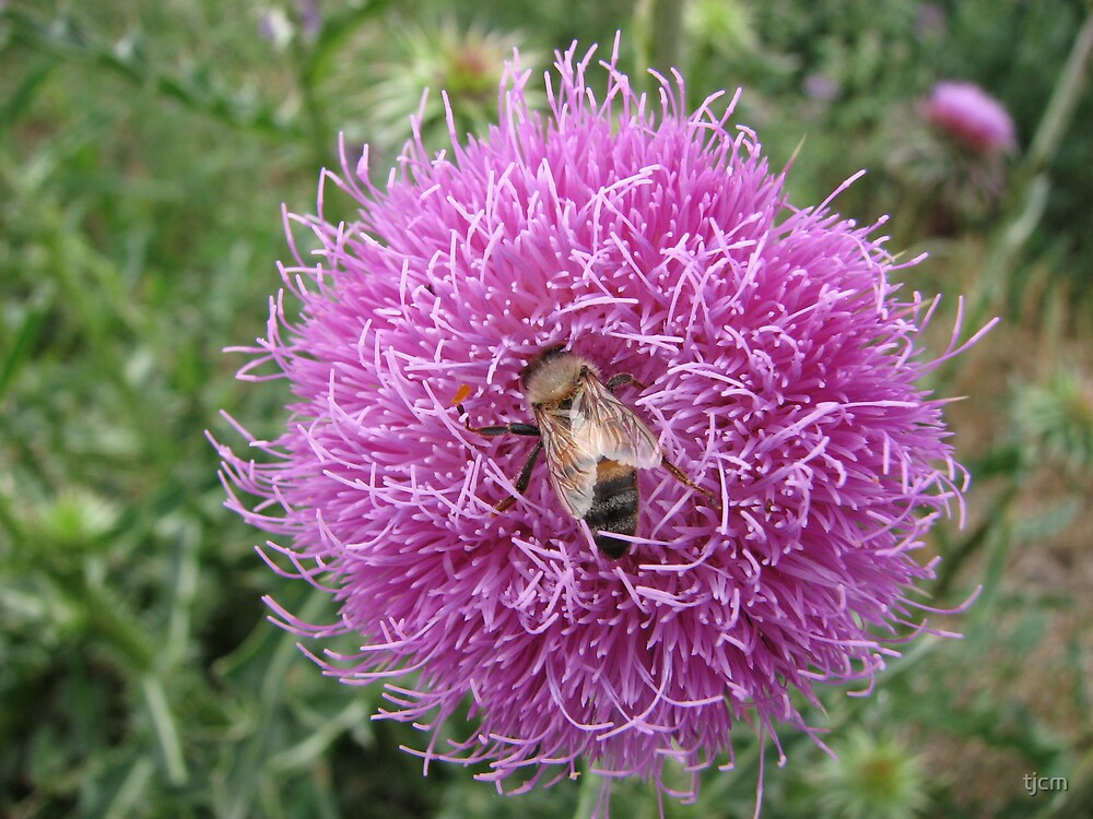 bee on a thistle by tjcm