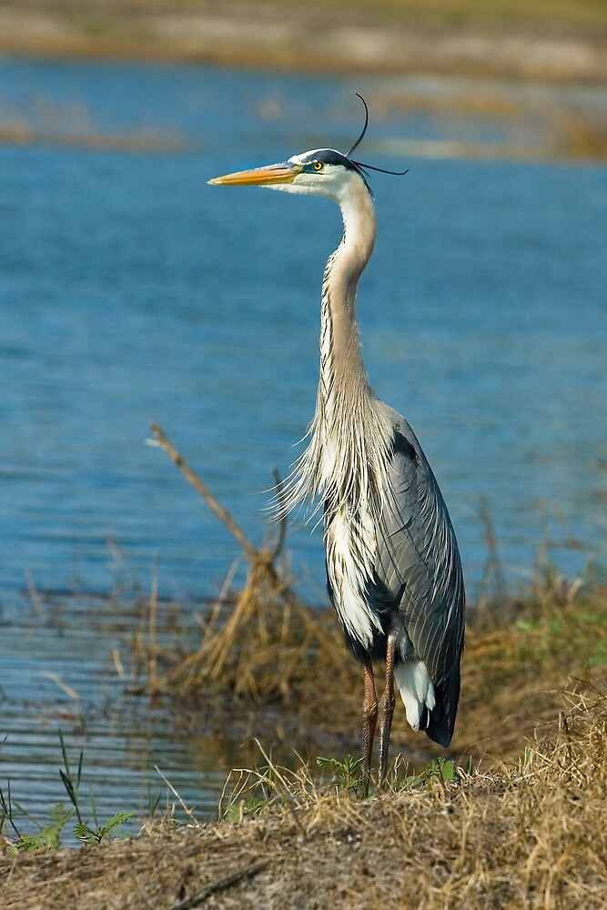 Great Blue Heron at Pond by Delores Knowles