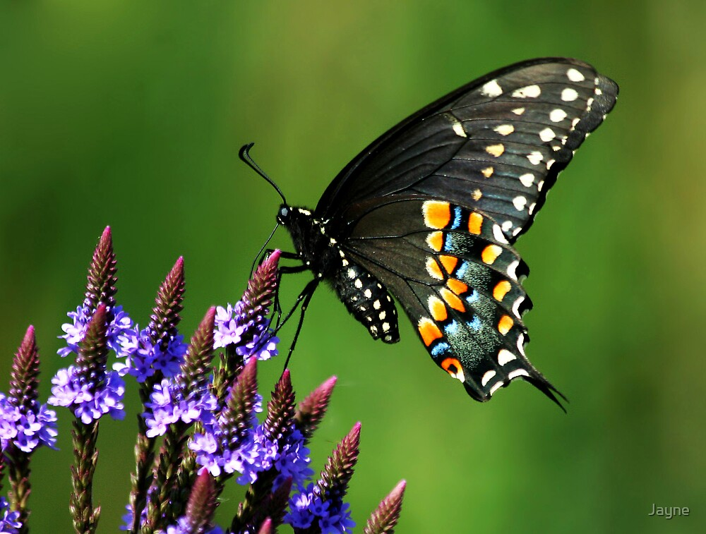 Black Swallowtail by Jayne