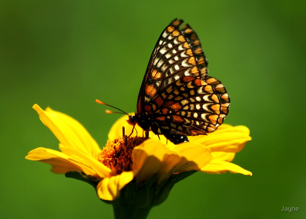 Baltimore Checkerspot by Jayne