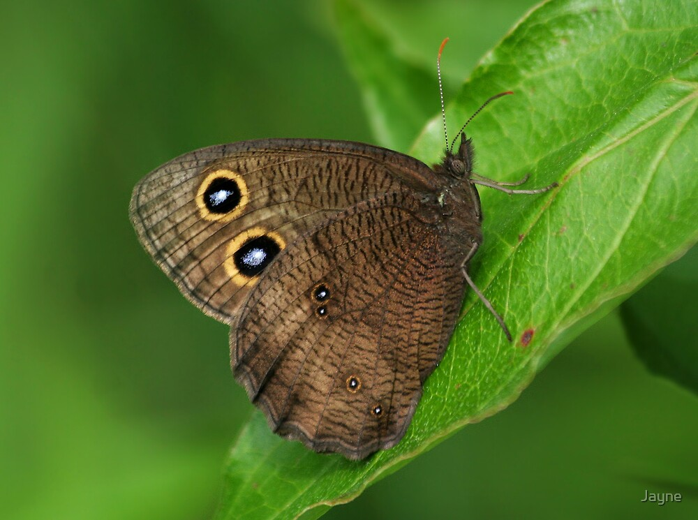 Common Wood Nymph by Jayne