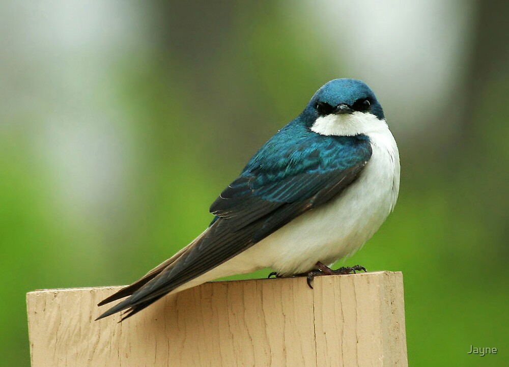 Tree Swallow by Jayne