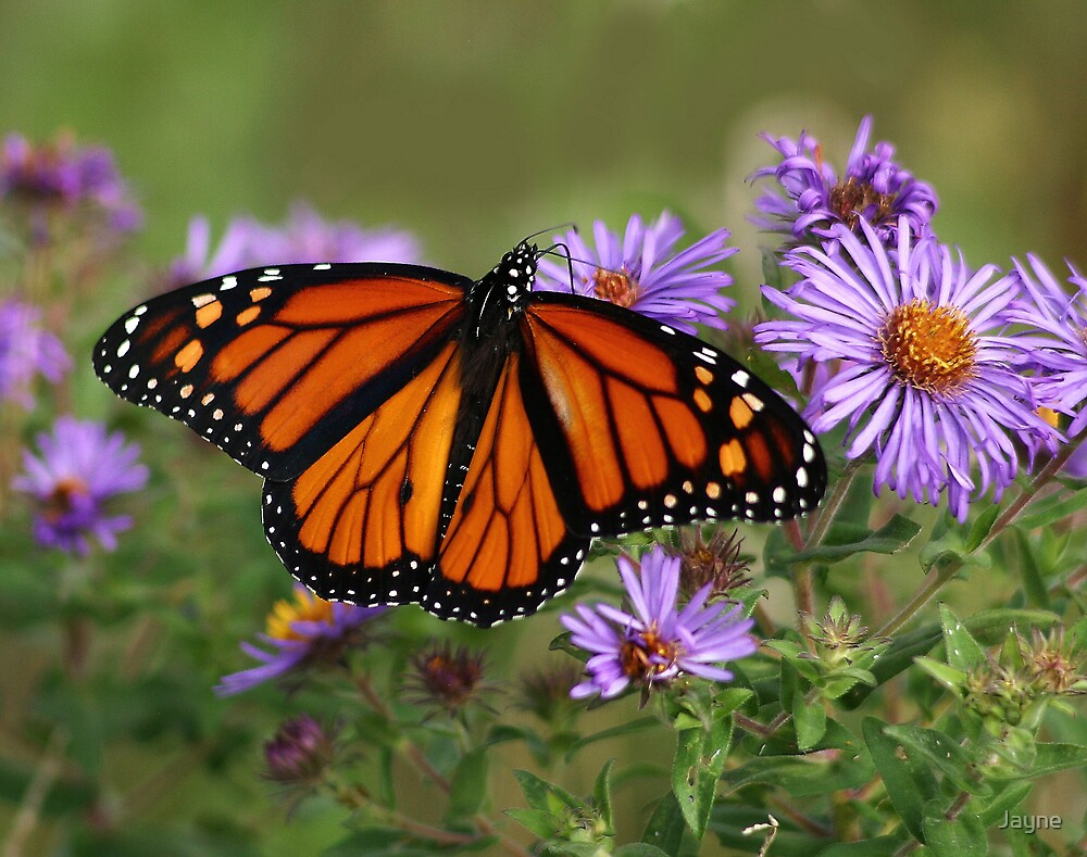 Monarch on Asters by Jayne