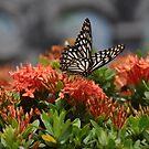 Butterfly by Judi Corrigan