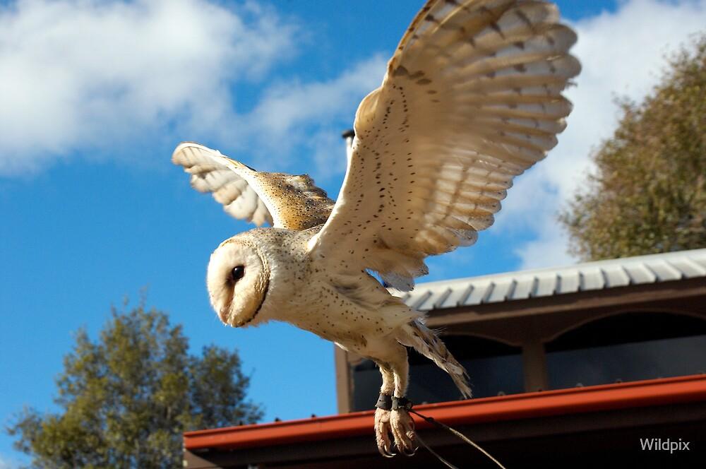 Barn Owl in Flight by Wildpix