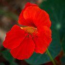 Bright Red Nasturtium by Sandra Chung