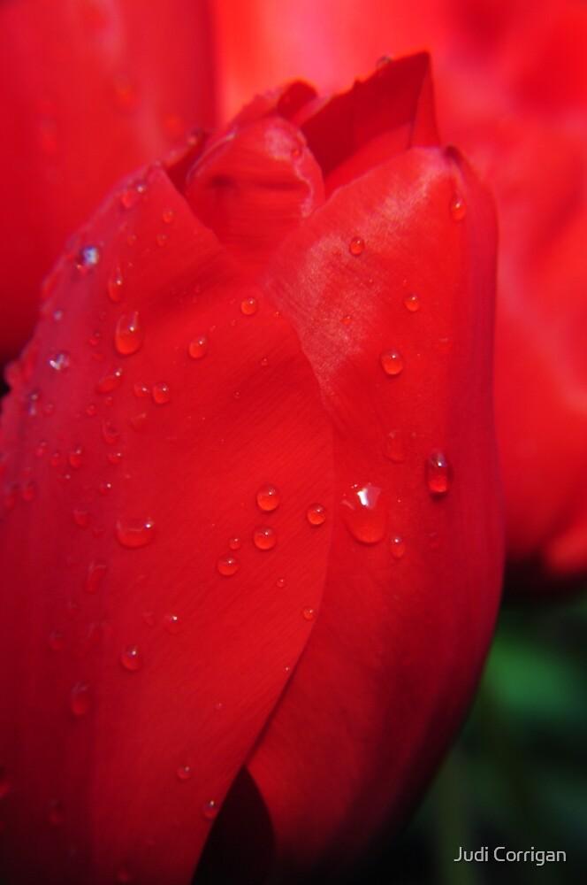 Tulip 2 by Judi Corrigan