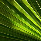 Sunlight through Palm Leaf #1 by farmboy