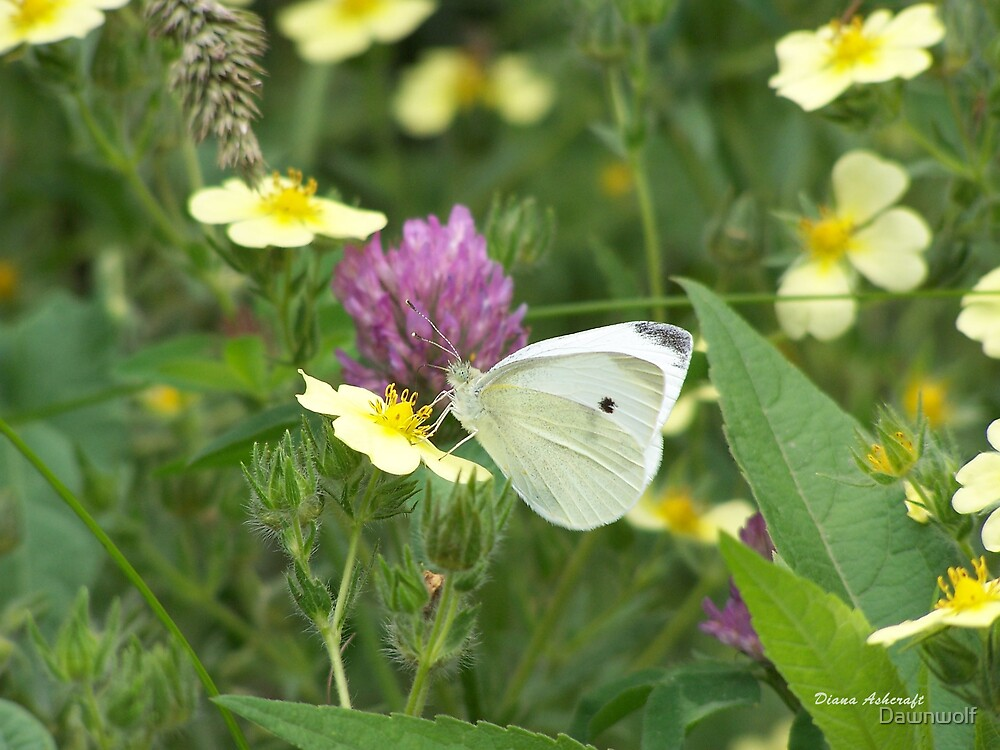 White butterfly by Dawnwolf