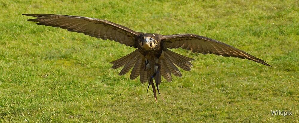Brown Falcon in Flight by Wildpix