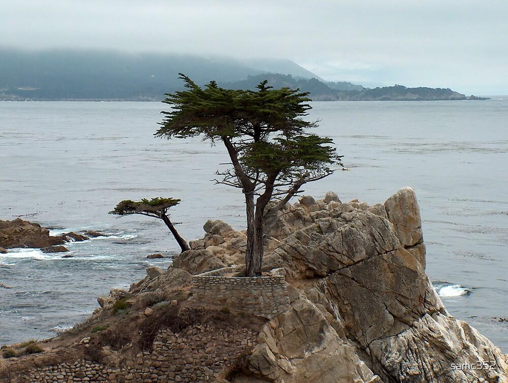 lone cypress tree by samc352