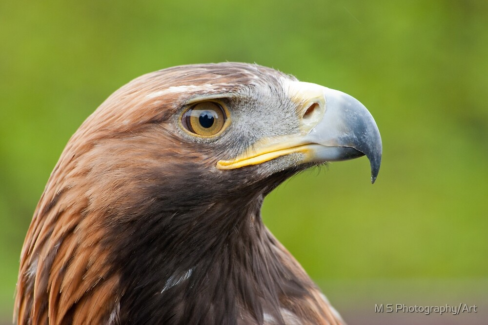 Golden Eagle Portrait by M.S. Photography/Art