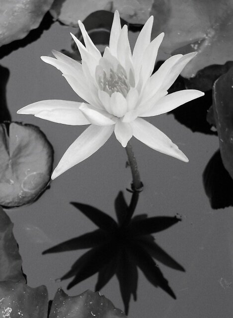 The Water Lilly by trin174