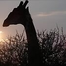 SUNSET GIRAFFE by Ceasar