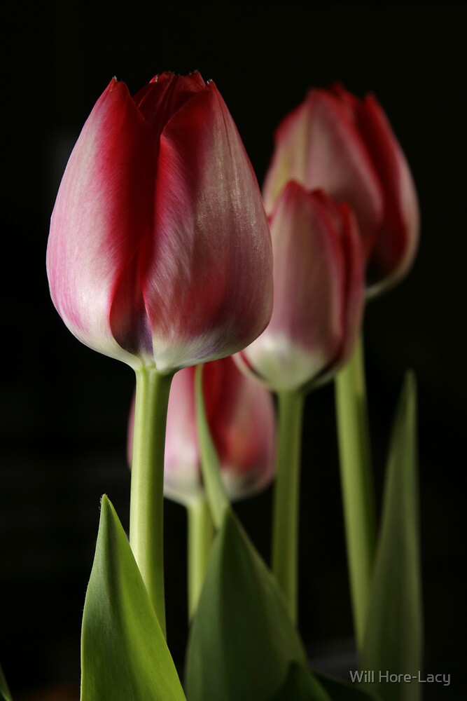 Tulip by Will Hore-Lacy