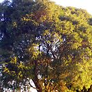 Sunkissed tree by Miranda11