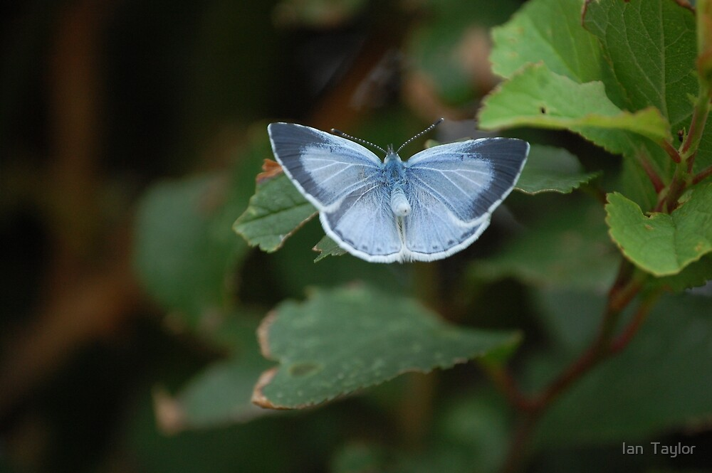 butterfly of brilliant blue by Ian  Taylor