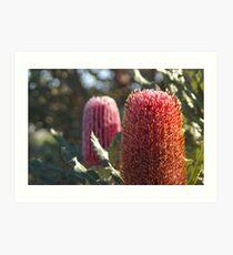 Firewheel Banksia Art Print