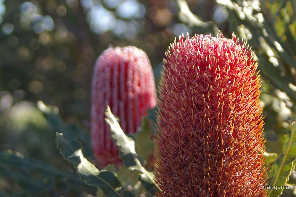 Firewheel Banksia by Gnangarra