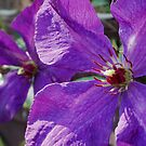 Clematis by Jen  Govey