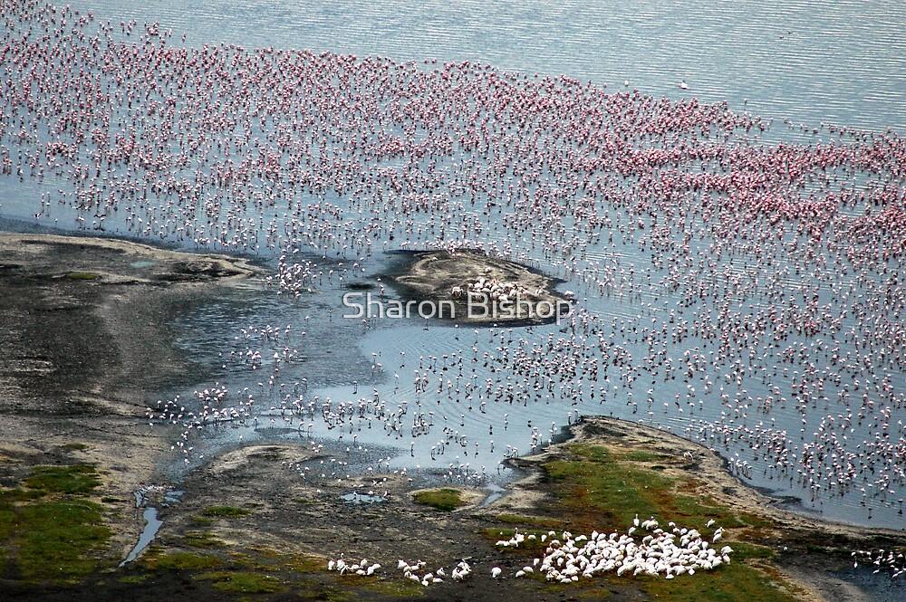 Flamingoes of Lake Nakuru, Kenya. by Sharon Bishop