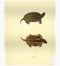 North American Herpetology A Desciption of the Reptiles Inhabiting the United States Chichowski John Edwards Holbrook 1838  0050 Turtle Poster
