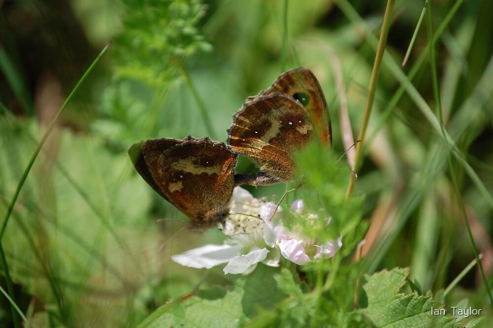 butterfly love  by Ian  Taylor