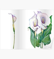 Beautiful flowers of calla Poster