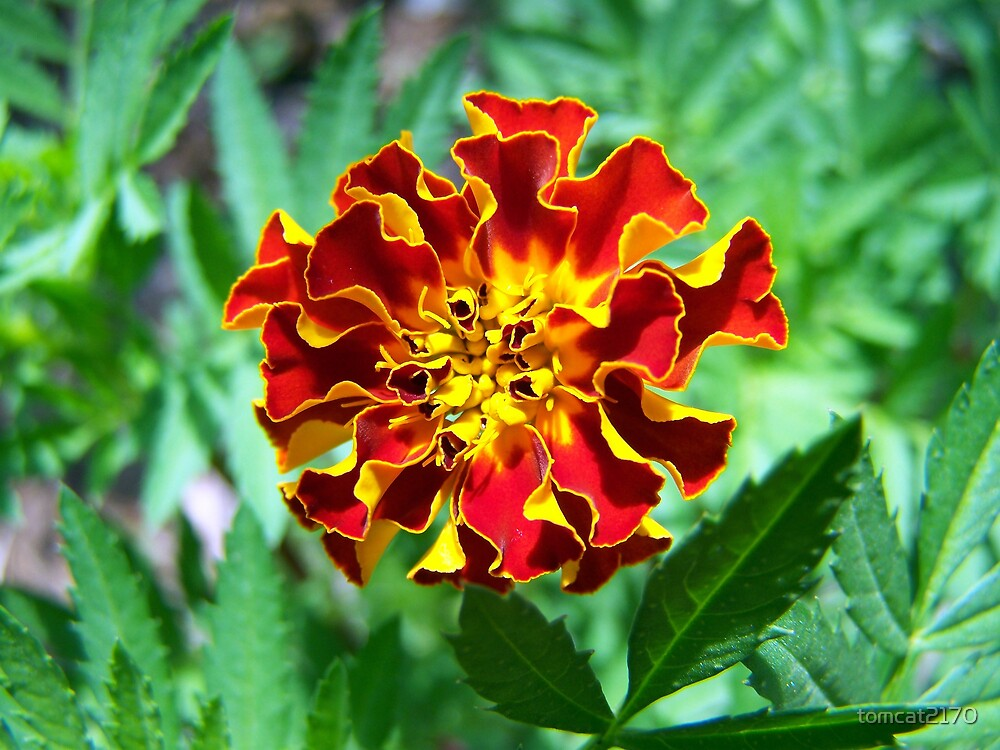 marigold by tomcat2170